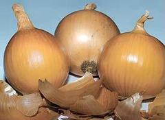 Банко семена лука репчатого, (Syng.)