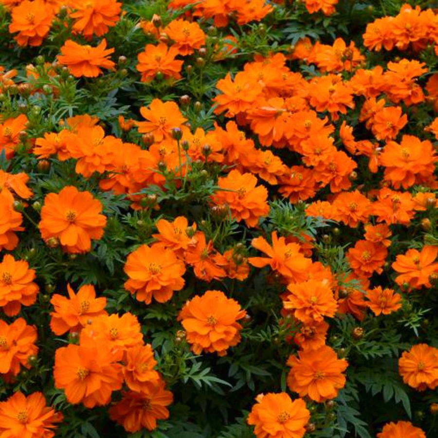 Цветы Семена цветов Космея Мандарин, PanAmerican Seed, 10 шт. MANDARIN.png