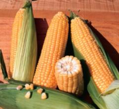 Бостон F1 семена кукурузы, (Syng.)