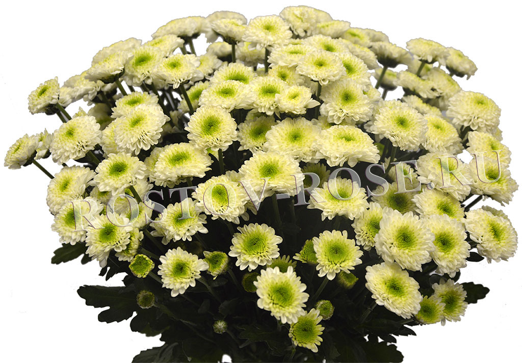 Бело-зеленые хризантемы Сантини