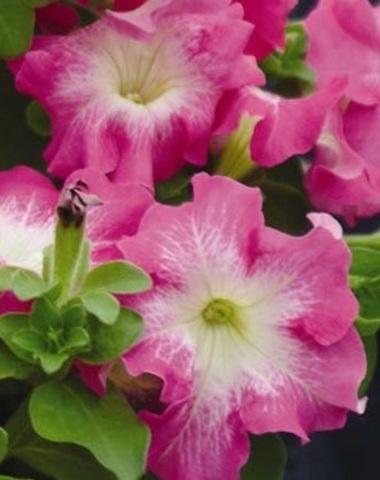 Семена Петуния грандифлора Дримс роуз морн, 10 драже, Одн